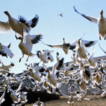 Winged Migration stars thousands of birds shot by 15 cinematographers