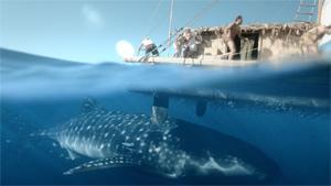 A whale shark greets the Kon-Tiki